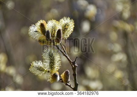 Beautiful Sunlit Glowing Willow Catkins Close Up
