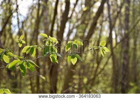 New Green Leaves On A Twig Outdoors In Leafing Season