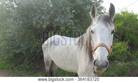 Closeup Of Grey Horse In Rural Lane Outside Andalusian Village In Early Morning April Sunshine