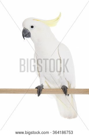 A Sulphur Crested Cockatoo Perched In Studio Shot.