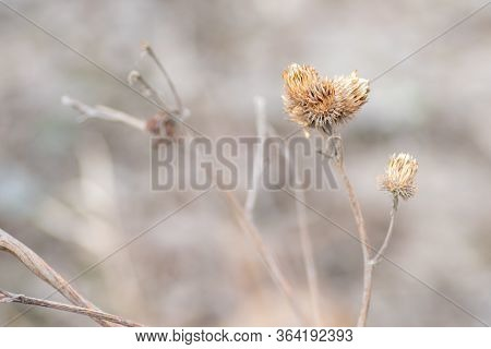 Close-up Dry Prickly Plant, Thistle, Blurred Natural Background