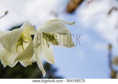 Yucca Plant Flowers In Close Up, Seen Upwards Against The Sky