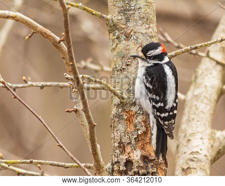 Closeup Of A Downy Woodpecker Perched In A Tree In Springtime.