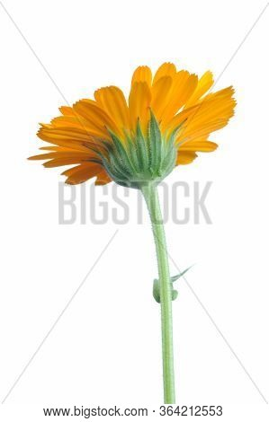 Side View Of Orange Calendula Flower With Stem On White Background