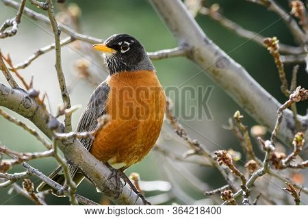 Wildlife Of Colorado. American Robin Perched In A Tree.