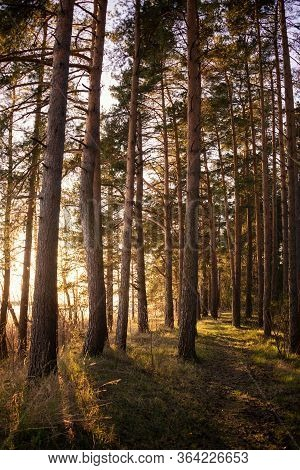 Path In Spring Pine Forest With Warm Evening Sunlight