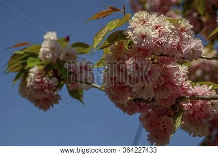 Many Small Blooming Flowers On The Branch Of A Tree