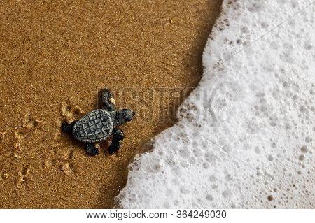 Hatchling Newborn Loggerhead Sea Turtle (caretta Caretta) Crawling On The Sand To The Sea After Leav