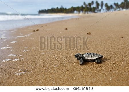Hatchling Hawksbill Sea Turtle (eretmochelys Imbricata) Crawling On The Sand At The Beach To The Sea