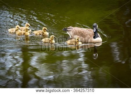Canada Goose And Goslings Swim. Canada Goose Protecting Goslings While Swimming In A Pond.