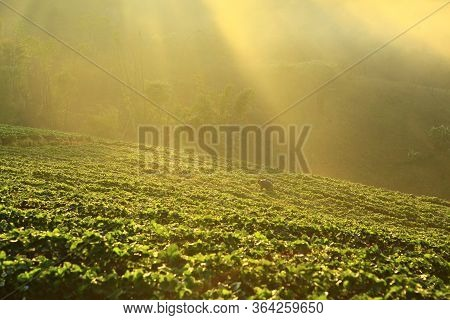 Misty Morning In Strawberry Garden At Doi Ang Khang Mountain, Chiangmai, Thailand