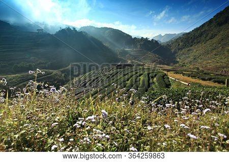 The Scenery Of Organic Tea Farm, (tea Farm 2000) At Doi Ang Khang Chiang Mai, Thailand