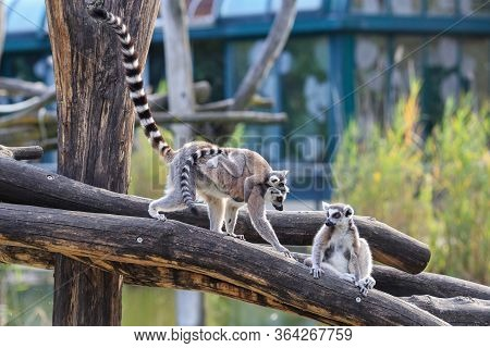 Family Of Ring-tailed Lemurs - Lemur Catta - With A Baby Sitting On The Back Of Mother.