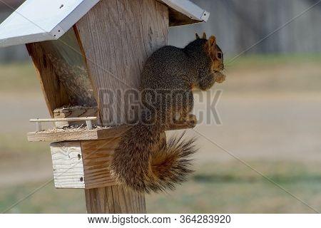 Red Squirrel Raiding Bird Feeder With Split Ear, Canyon, Texas.