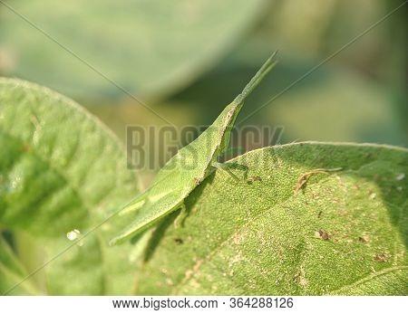 Grasshopper Grass - Close Up Detail Of A Small Green Grasshopper