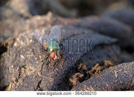 Oriental Latrine Fly - Green Flies, Close Up Details Of Flies. Flies On Food