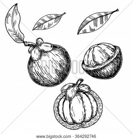 Mangosteen Fruit Sketch Illustration. Mangosteens, Whole And A Half Of Fruit With Leaves Isolated On