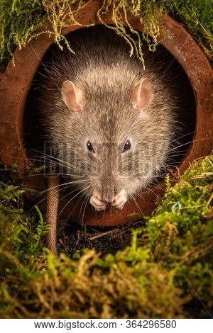 A Common Brown Rat, Rattus Norvegicus, Just Emerging From A Drainpipe . Its Head Is Showing As It Pr