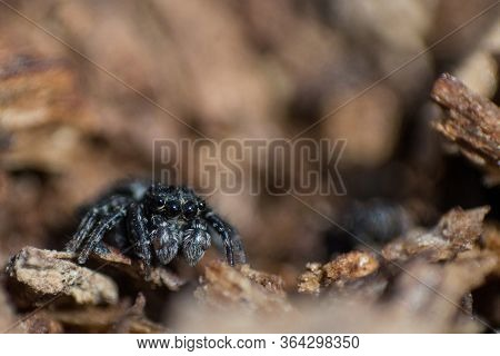 Black Fluffy Spider Steed On Bark Of Tree