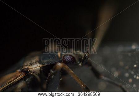 Brown Elm Bug In Macro
