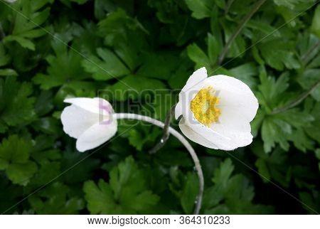 Tender White Snowdrop Anemone Flowers (anemone Sylvestris )on Dark Leaves Background  . Garden Flowe