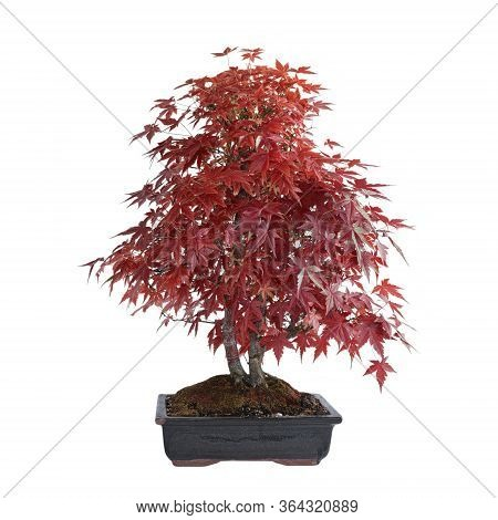 Beautiful Japonese Maple ( Acer Palmatum ) In Autumn Colors, Isolation Over White
