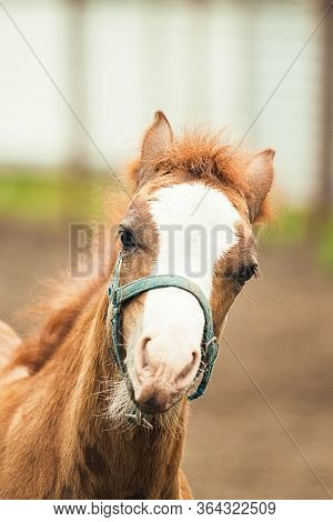 Portrait Of The Brown Foal, Close Up. Farm Coutryside