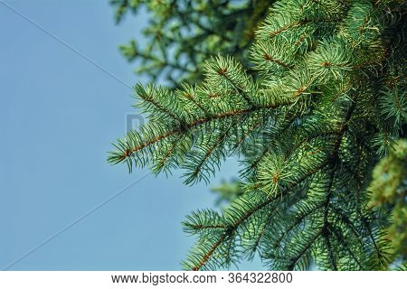 Fir-tree Or Spruce Tree Branches On Blue Sky Background. Green Spruce Tree