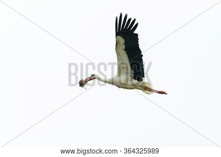 A Stork Flies With A Tuft Of Grass In Its Beak. Completely White Background