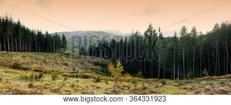 Fir Forests In The Apennines Mountains At Sunset In Tuscany, Italy.