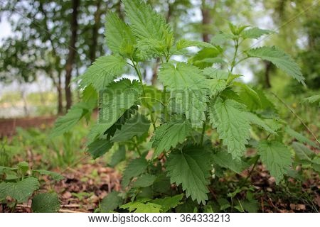 Stinging Nettle (urtica Dioica) Or Stinger, Growing In The Herbal Garden. A Medicinal Plant Used In