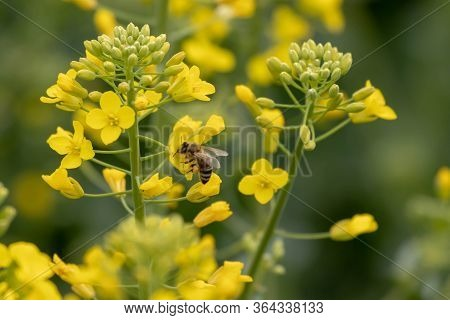 Bee On Oilseed Rape.  Honeybee Takes Pollen From The Yellow Rapeseed Flower.