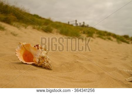A conch shell lays on the sandy beach by the dunes of Southbourne Beach