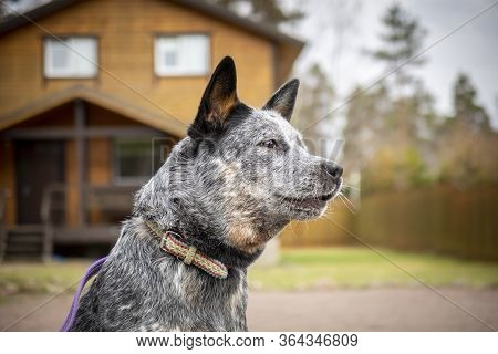 Portrait Of Young Australian Cattle Dog (blue Heeler) Of Nature Background, Close-up