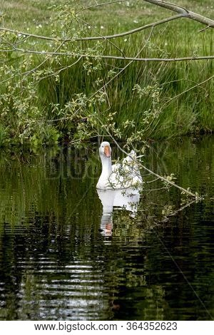 One White Mute Swan, Cygnus Olor, Gliding Across A Lake At Dawn. Amazing Morning Scene, Fairy Tale,