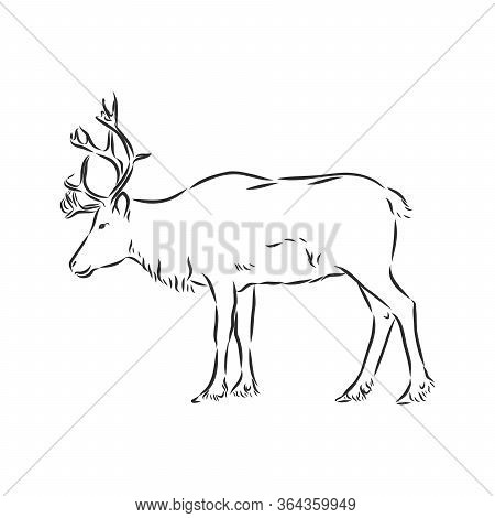 Polar Deer. Vector Hand Drawn Illustration With Nordic Animal Isolated On White In Sketch Style. Pol