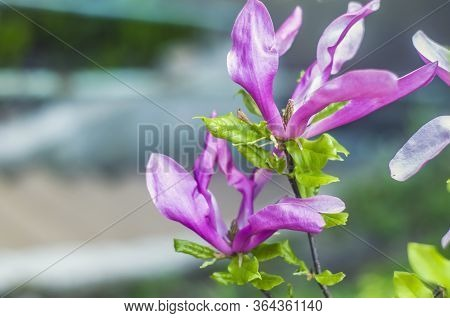 Bright Gentle Beautiful Pink Magnolia Flowers On A Branch Of A Blossoming Tree. Spring Flowering.