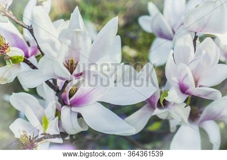 Bright Gentle Beautiful White-pink Magnolia Flowers On A Branch Of A Blossoming Tree. Spring Floweri