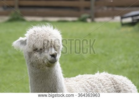 White Alpaca, A White Alpaca In A Green Meadow. Selective Focus On The Head Of The Alpaca, Photo Of