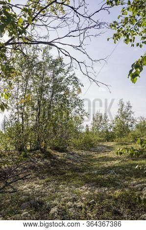 Birch Grove And Bright Blue Sky. Green Trees In The Summer Forest. Travel On Nature. Landscapes, Nor
