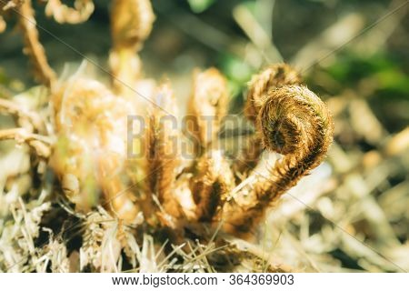 Ferns In The Forest. Beautiful Ferns Leaves Green Toned Foliage. Soft Focus. Close Up Of Ferns In Th