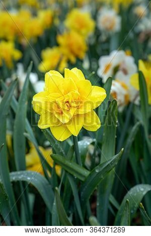 Narcissus, Daffodil Golden Ducat (narcissus, Amarylli Daeceae), Flowers In Spring After Rain. Close