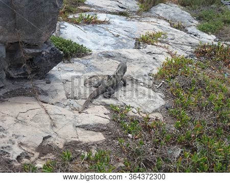 Ctenosaura Similis Lizard Known As Black Spiny-tailed Iguana On Stones At Tulum City In Mexico In 20