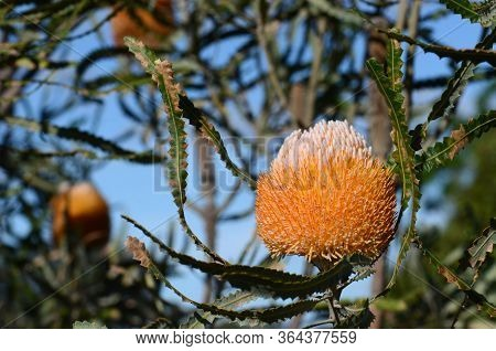 White And Orange Inflorescence Of The Acorn Banksia, Banksia Prionotes, Family Proteaceae. Native To