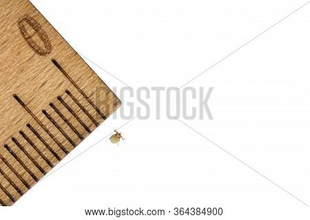 Closeup Of Tiny Tick Nymph Next To Wooden Ruler With Millimeter Scale Isolated On White. Parasites,