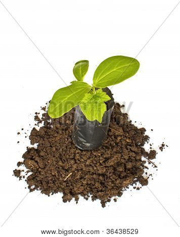 Young Plant In Planting Bag On  Soil Over White