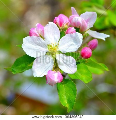 Apple Tree. Nice Flower In Early Spring. The First Flowers Appear In Spring Season