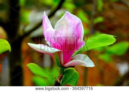 Magnolia. Nice Flower In Early Spring. The First Flowers Appear In Spring Season