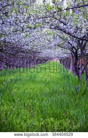 White Blossoms On Old Apple Fruit Trees In The Orchard In Early Spring. Row Of Apple Trees With Gree