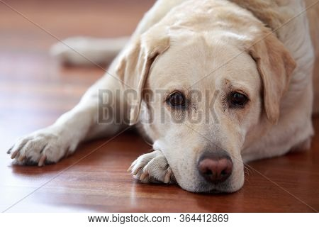 Dog Breed Labrador Retriever Is Lying And Sad On The Floor Of House